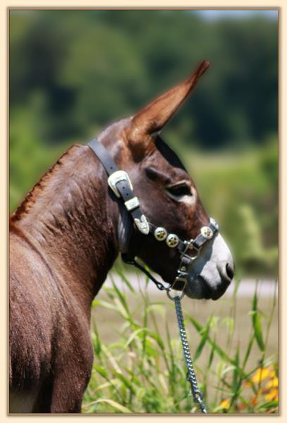 HHAA Good Friday, dark brown miniature donkey gelding show prospect for sale