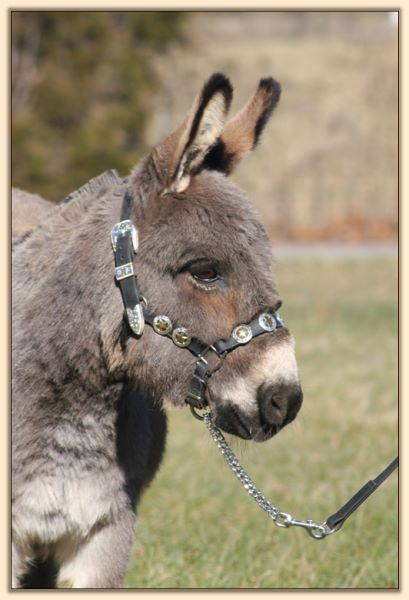 Cornell's Cadillac Jack, trained driving miniature donkey gelding