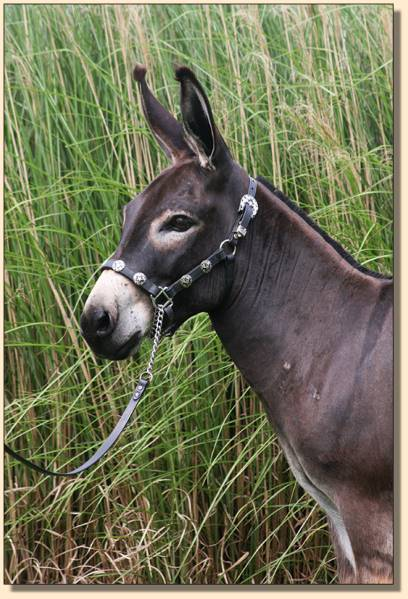 Hill Country Mini's Justa Gigalo, miniature donkey show/driving gelding