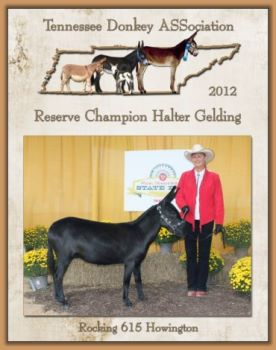 Reserve Champion Halter Gelding for Tennessee!