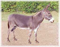Miniature Donkey My World Diablo (9462  bytes)