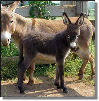 HAA Invincible,  brown miniature donkey jack for sale!! (17,302 bytes)